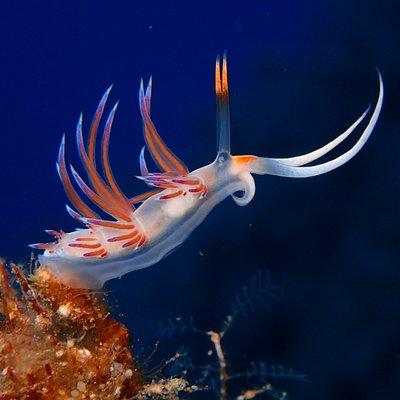 Nudibranchs