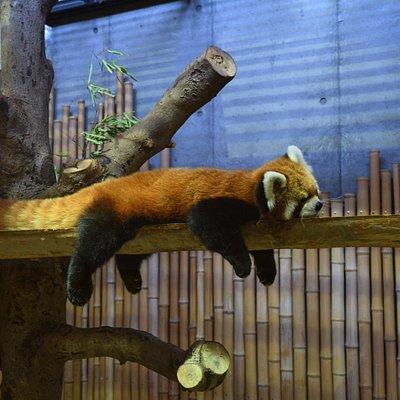 レッサーパンダの寝姿
