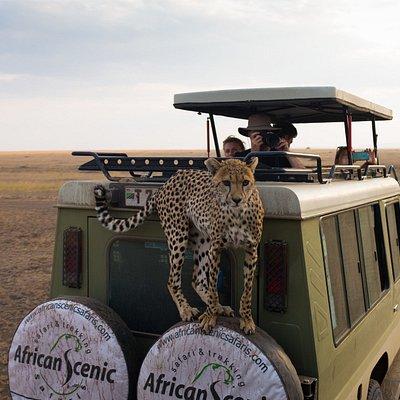 African Scenic Safaris cheetah experience