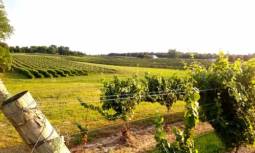 vineyard in front of cottage.