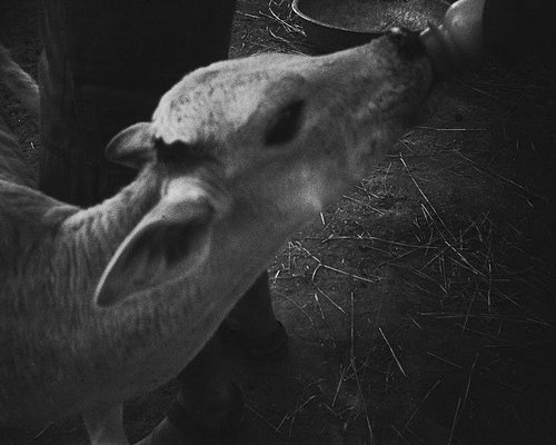 Calf-Feeding!