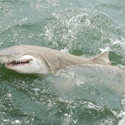 One of the large sand tiger sharks we caught