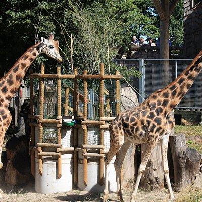 Жирафы в Рижском зоопарке