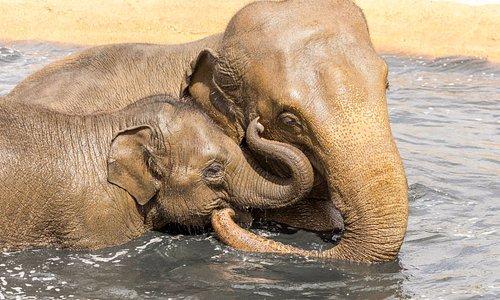 Asian elephants Tarli and Chandrika enjoying a dip in their wallow