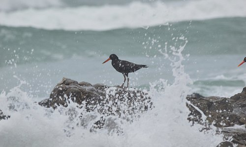 Oyster Catchers braving the waves for a tasty morsel