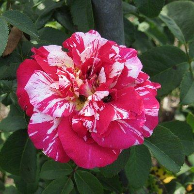Moore Park Nan Elliott Memorial Garden Rose