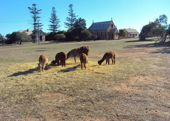 Free-range alpacas