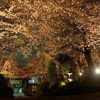 実相院の夜桜ライトアップ