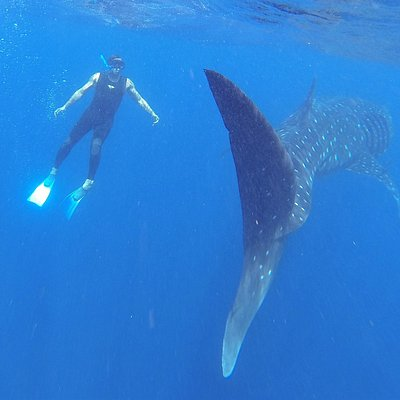 SNORKEL WHALE SHARKS