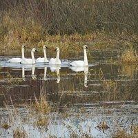 Trumpeter Swans entering Somenos Marsh in late Autumn