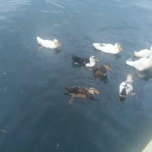 Many Ducks on the Dolphin Lake