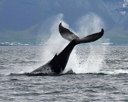 Tail of the great Humpback Whale seen on our Reykjavik whale watching tours