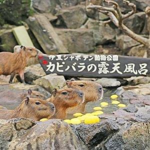 冬季限定。元祖カピバラの露天風呂。海外のお客様からも大好評です。