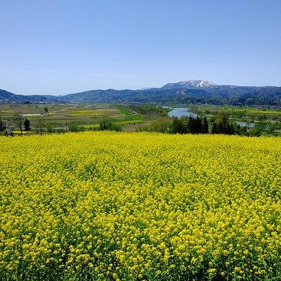 千曲川沿いに広がる菜の花畑