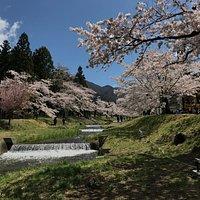 桜の時期の観音寺川