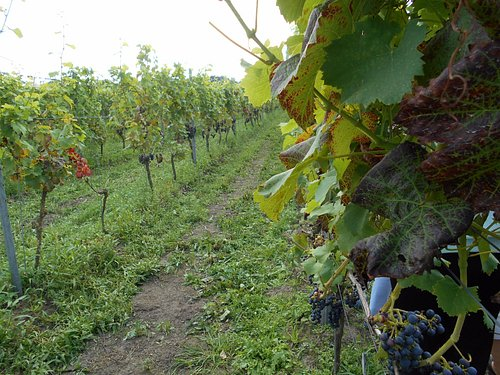 One row of the vineyard.