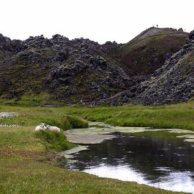 Relaxed sheep in Landmannalaugar