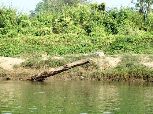 krokodille på lur