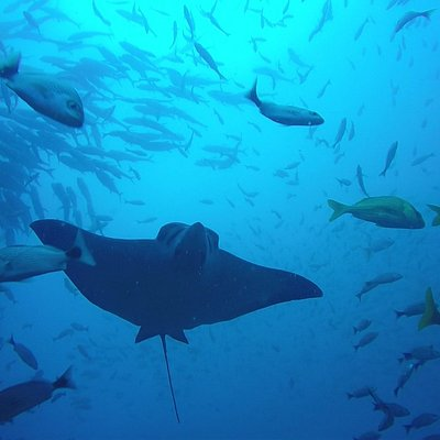 Black Rock eagle Ray