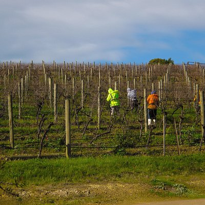 Dixons Creek Estate - Pruners in Vineyard