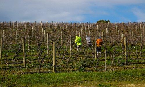 Dixons Creek Estate - Pruners in Vineyard