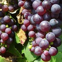 wijnhoeve elanova;rijpe blauwe druiven augustus 2017