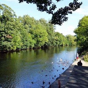 Duck Feeding on the River Wharfe