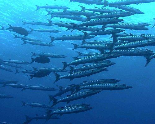 Barracuda. Puerto Princesa Bay Dive Sites (PALAWAN Island). FACEBOOK: Divepuertoprincesa Dive Ce