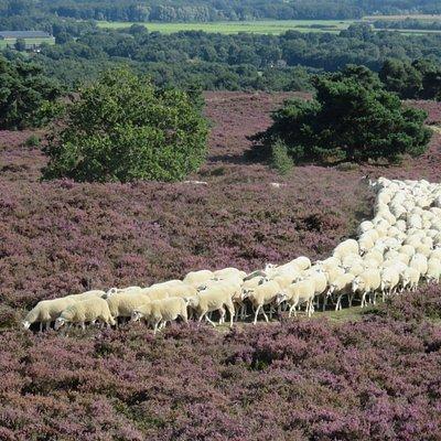 kudde schapen op weg naar de kooi