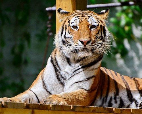 2017: Újra benépesült a tigriskifutó