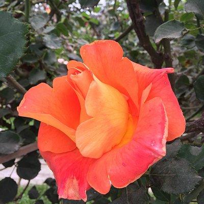 Un lugar increíble. Con senderos para recorrer con rosas de todo tipo, tamaño y color. Indicada