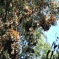 The orange cluster are thousands of Monarch Butterflies