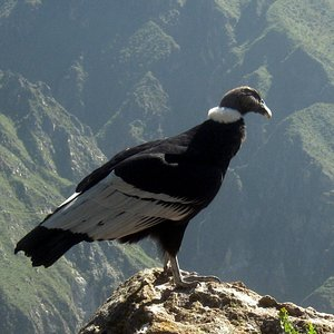 Colca Canyon best place to see Condors