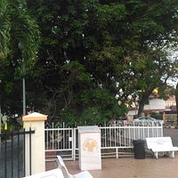Oldest Rubber Tree