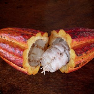 """Theobroma cacao, which, roughly translated, means """"food of the gods""""!"""