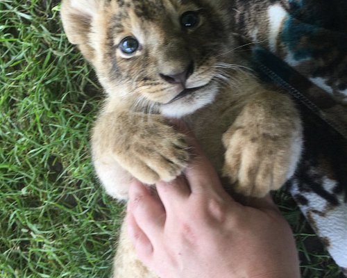 got to meet Lola, a 3 week old lion cub during our Lion Cub encounter