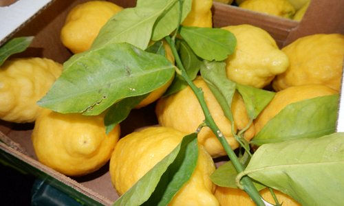 Lemons are hand-picket to avoid mechanical mistreatments that would compromise the integrity.
