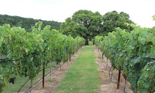 The Estate Vineyard