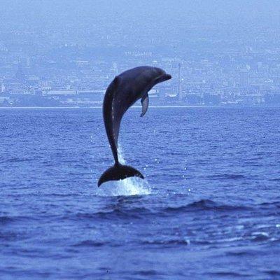 Tursiope, delfino costiero avvistato frequentemente nel Golfo di Catania. Foto by Ketos.