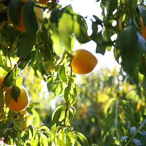 We grow 30 varieties of peaches, and our season runs from Memorial Day through Labor Day.