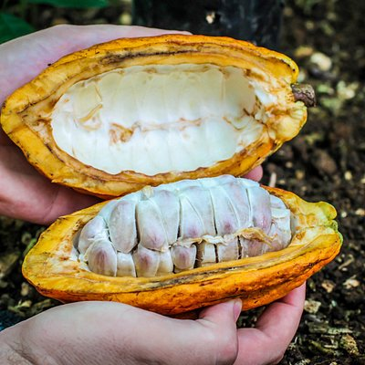 This is how the cacao looks inside