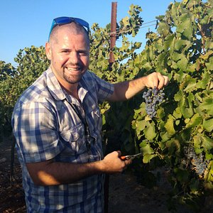 harvesting the grapes in the region of Samaria