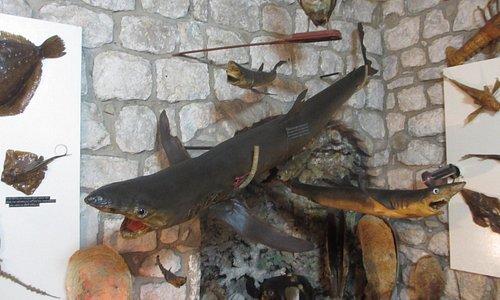 Muzej Riba i Rakova Makarska. Рыбы