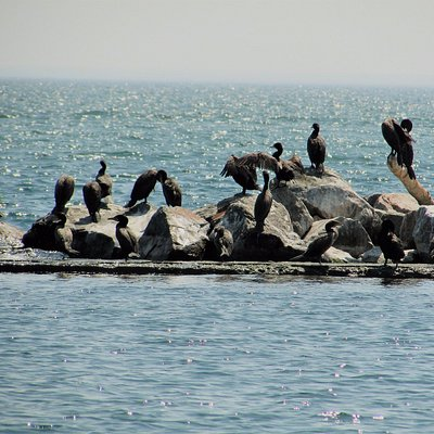 Canada Geese on the boulders