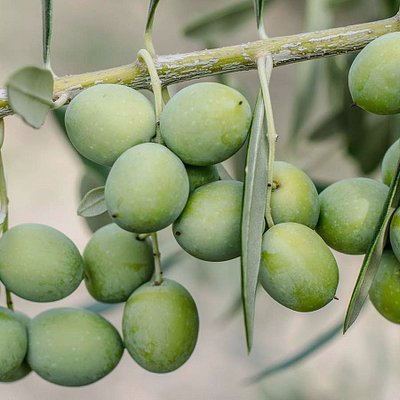Agro-Millo   High Quality Extra Virgin Olive Oil   Istria   Croatia