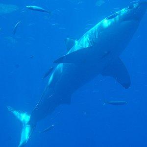 Great White shark from Nautulis Explorer