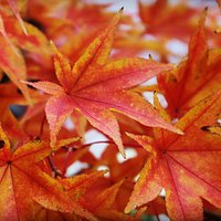 Beautiful fall... come and visit our Japanese maple garden in autumn..!