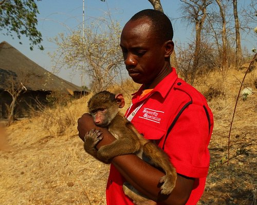Baby baboon, being taken care of by caretaker