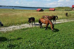 Красивые, упитанные, ухоженные лошади вятской породы. Конно-спортивная школа совсем рядом.