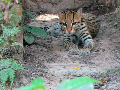 Harry our female Ocelot was rescued being sold as a kitten in Iquitos. Photo credit: Lola Vu Ngo